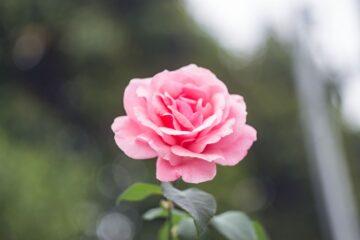 rose plante artificielle
